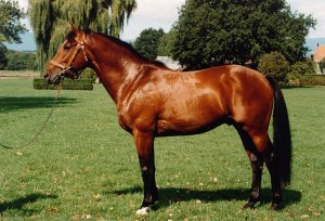 Freiberger Horse - Swiss National Haras Photo