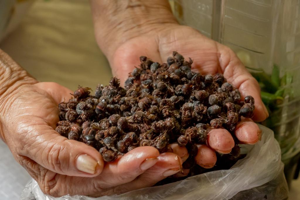 Hormigas chicatanas – platillo prehispánico
