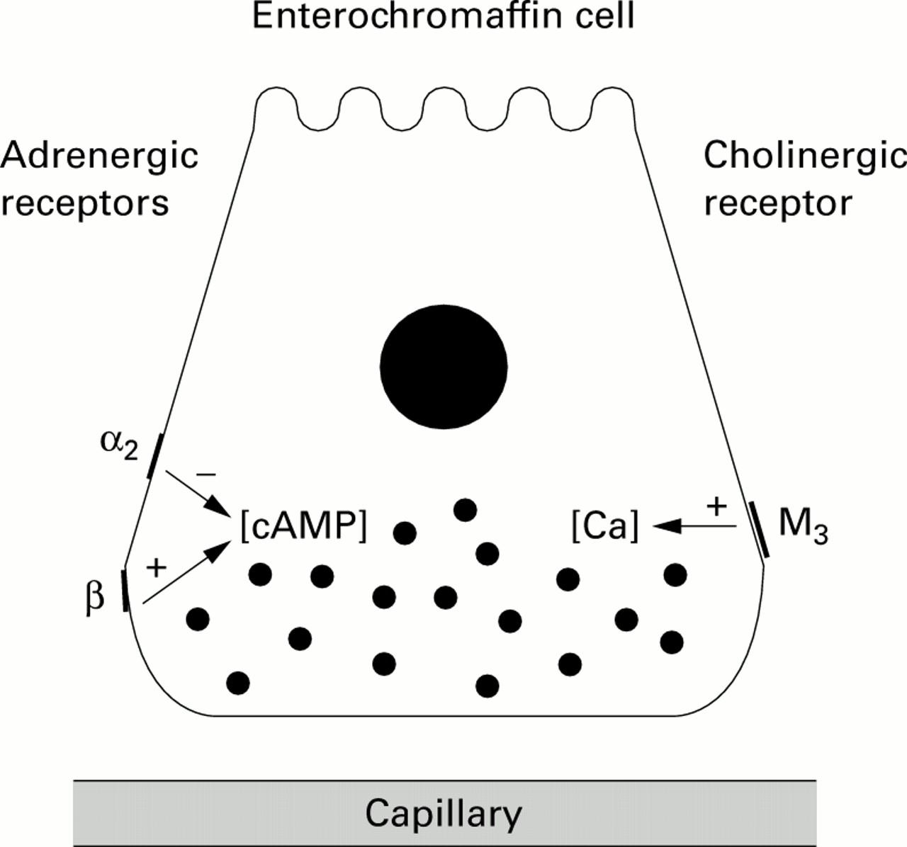 Sympathetic Input Into The Enteric Nervous System
