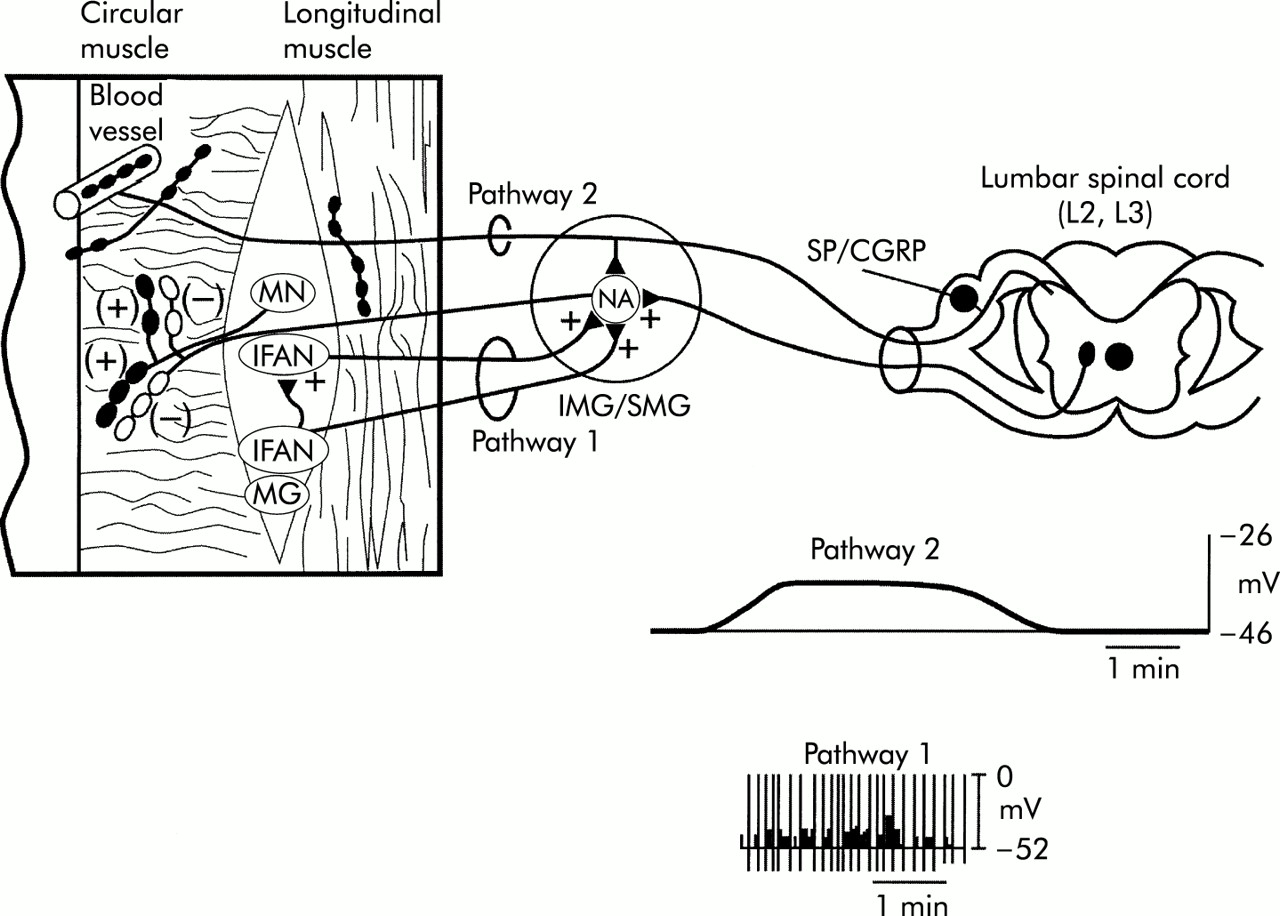 Prevertebral Ganglia And Intestinofugal Afferent Neurones