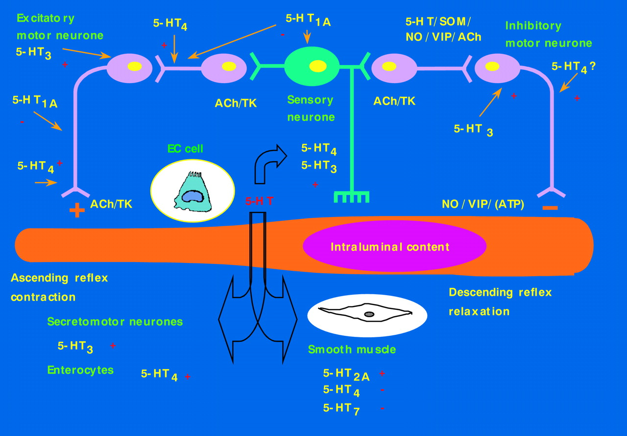 Pharmacology Of Serotonin What A Clinician Should Know