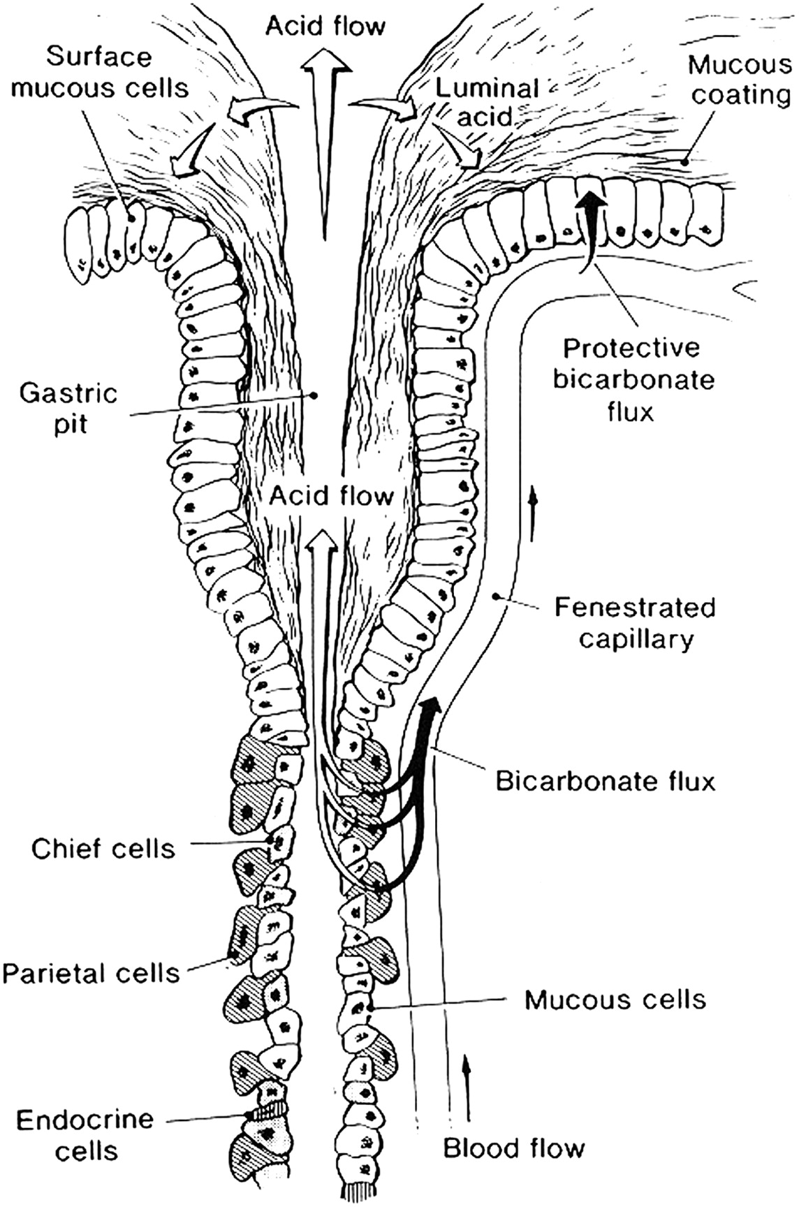 The Elegance Of The Gastric Mucosal Barrier Designed By Nature For Nature