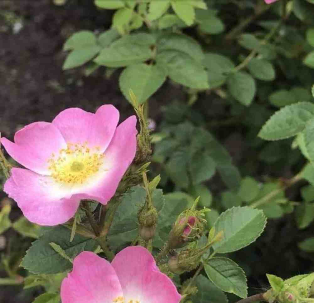 Die Hunds-Rose (Rosa canina).
