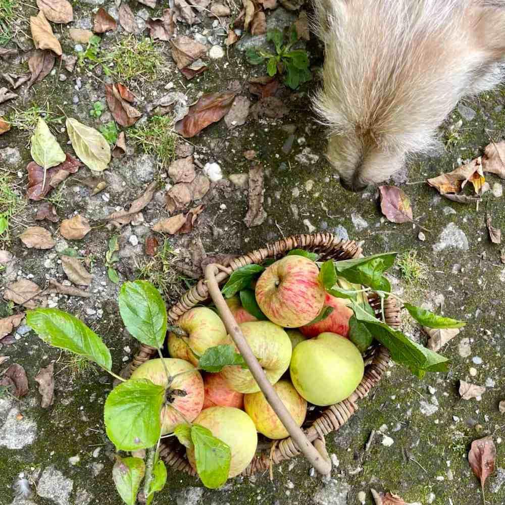 Äpfel pflücken.