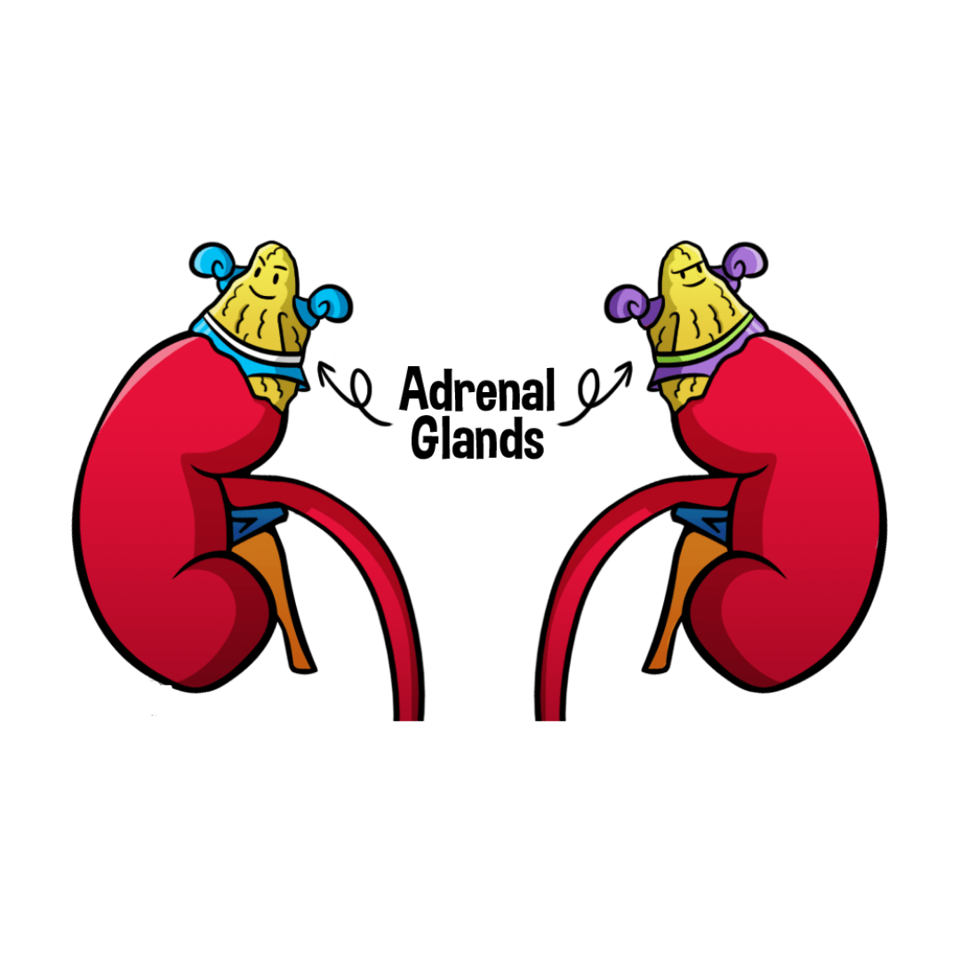 The Function of Adrenal glands
