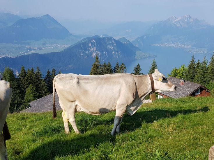 Kuh auf der Rigi