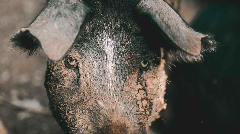 Madagaskar Titelbild (Wildschwein)