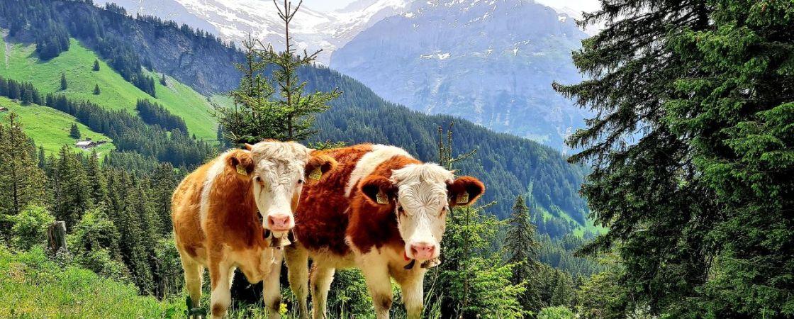 Grindelwald Kühe