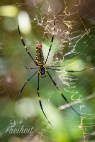 Eine Seidenspinnenart - zählt zu den Radnetzspinnen - nur Vogelspinnen sind noch größer