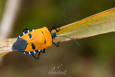 Wer kennt diesen Käfer?