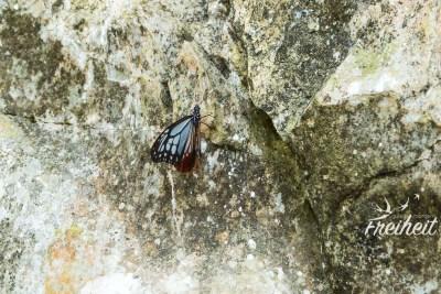 Einer der vielen scheuen Schmetterlinge