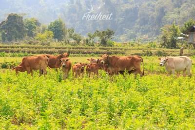 Beschützende Kühe