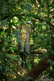 Great Argus - Argusfasan - Das Männchen kann 160-200cm lang werden. Die Tiere sind sehr scheu