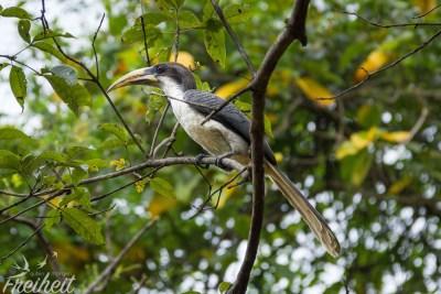 Ein Sri Lanka Grey Hornbill - endemische Nashornvogelart