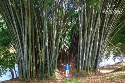 Gewaltiger Bambus
