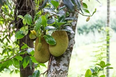Jackfrucht Baum - diese Früchte können bis zu 50kg schwer werden und sind die schwersten Früchte der Welt