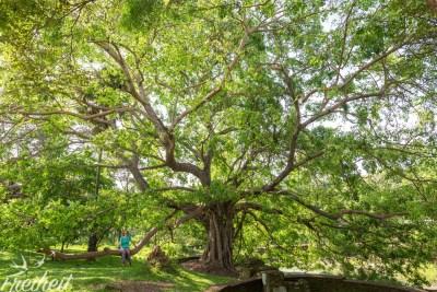 Genialer Baum im Island Park von Polonnaruwa