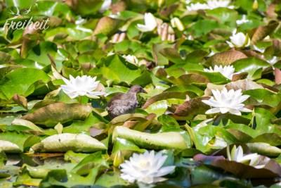 Seerosenteich im Tivoli Park