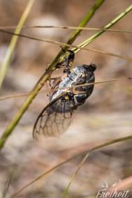 Zikade Nummer 2 - meist hört man sie mehr als das man sie entdeckt