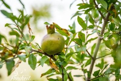 Überall wachsen hier Granatäpfel und Feigen