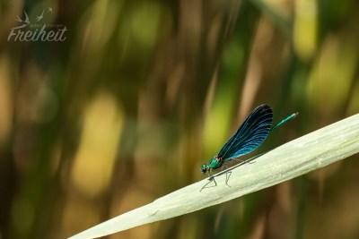 Am Ufer schwirren hunderte Libellen