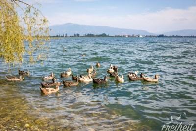 Entenschar am Ohridsee