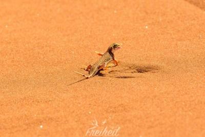 Kleine Wüstenechse