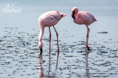 Eines der wenigen Fotos, wo wir zwei Flamingos freigestellt bekommen haben