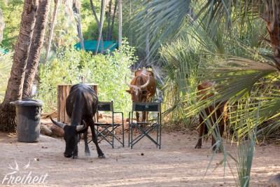 Nachmittags dürfen die Rinder auf den Campingplatz und Palmensprösslinge wegknabbern - sie fressen sogar alte Palmenblätter! Unglaublich...
