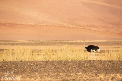 Auch der Strauß grasst in der Namib