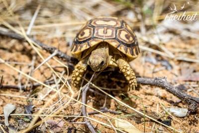 Schnell können die kleinen Schildkröten sein :)