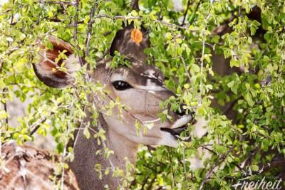 Kudus lieben Laub und frische Zweige