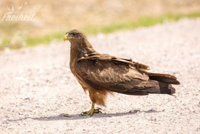 Greifvogel mitten auf der Straße
