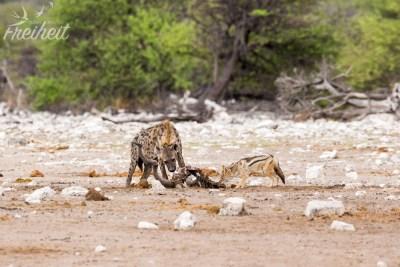 Hyäne und Schakal