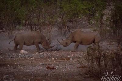 Kämpfende Nashörner im Dämmerlicht