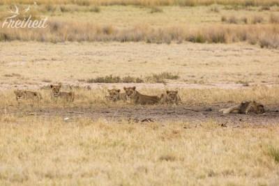 Zweite Löwensichtung - leider weit weg