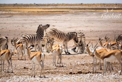 Zebras treten gerne ;-P