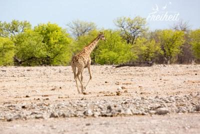 Giraffen können sehr elegant rennen