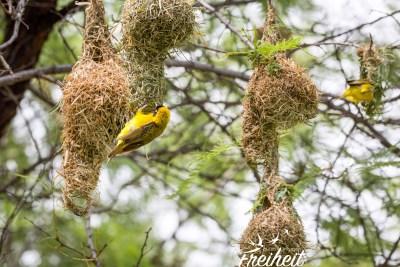 Viele hübsche Webervogelnester