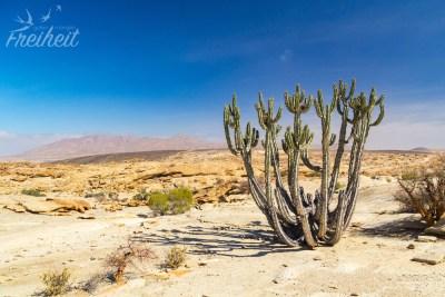 Der Kaktus wächst auf den Steinhängen der Blutkuppe