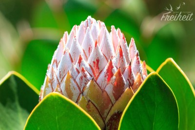 Noch geschlossene Königs-Protea