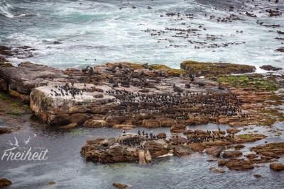 Am Kap der Guten Hoffnung tummeln sich ein paar Dutzend Robben