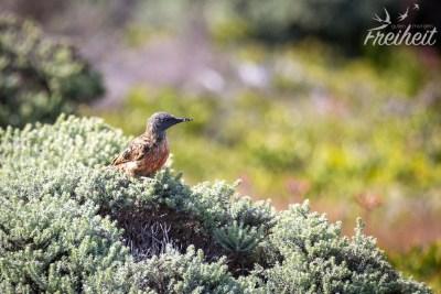 In der Fynbos Vegetation tummeln sich viele Vögel