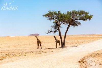 Vielleicht der einzige Schattenplatz für die großen Giraffen? ;-)