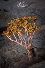 Köcherbaum, der aus den Felsen wächst