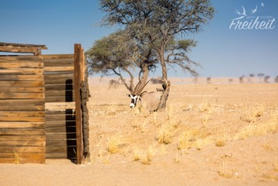 Hinterm Toilettenhäuschen eine Oryx Antilope