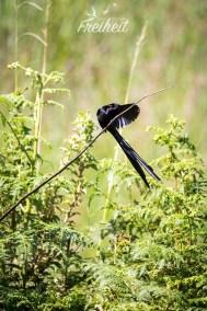 Red-collared Widowbird (deutsch: Hahnenschweifwida)