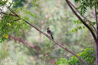 Witzige Frisur hat dieser Haubenbartvogel (und leider nicht ganz scharf)