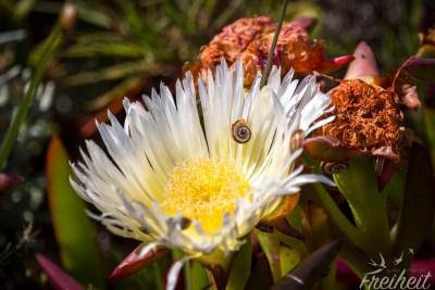 Weiße Mittagsblume mit Bewohner ;-)