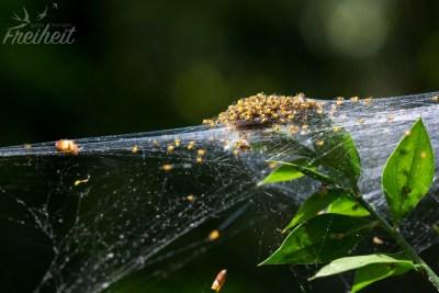 Hunderte frisch geschlüpfte Spinnen!